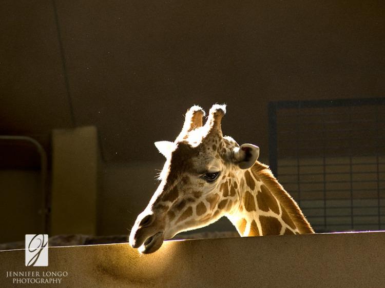 Sunlit Giraffe