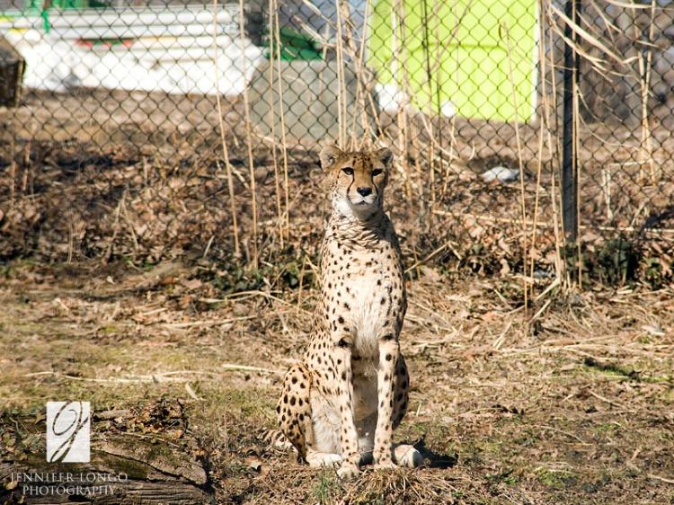 Cheetah Salute