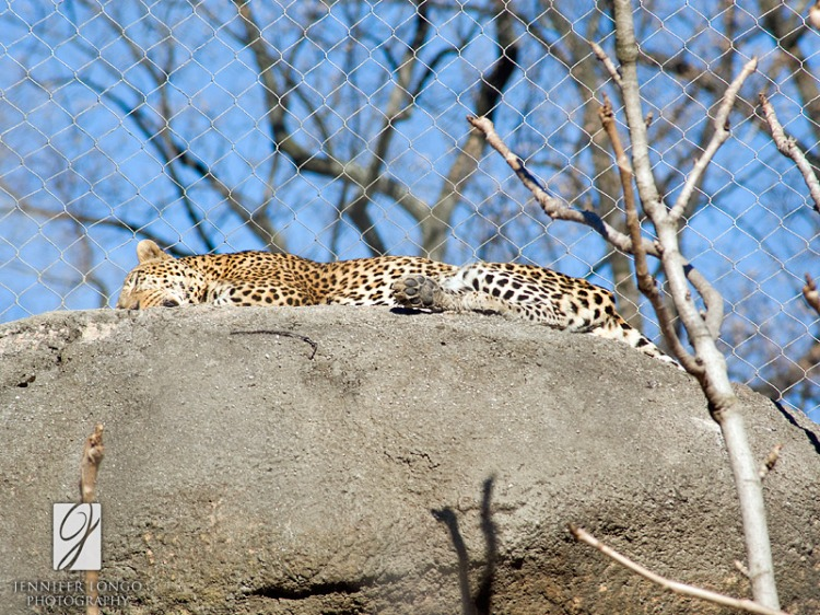 Lounging Zoo Leopard