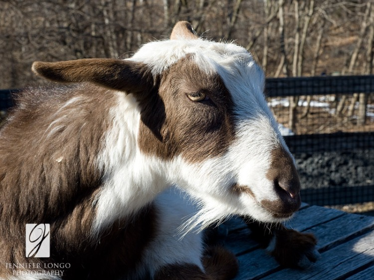 Goat at the Baltimore Zoo