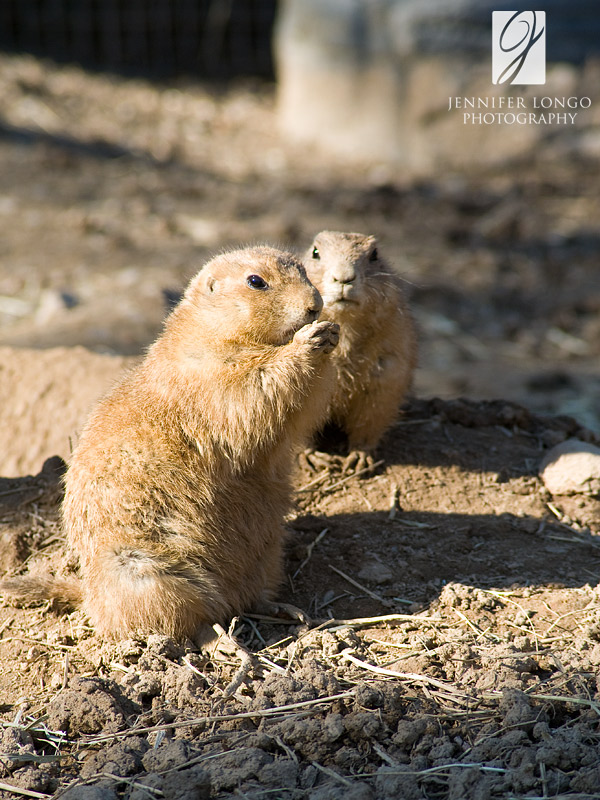Prairie Dogs @ the Baltimore zoo